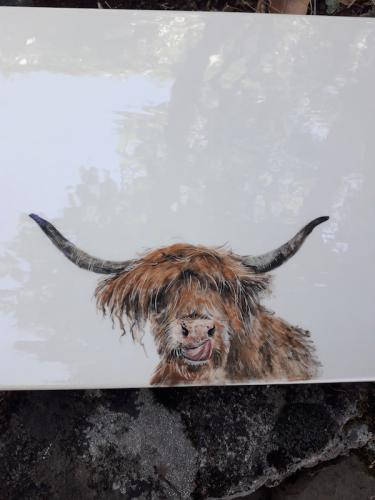 Highlands cow